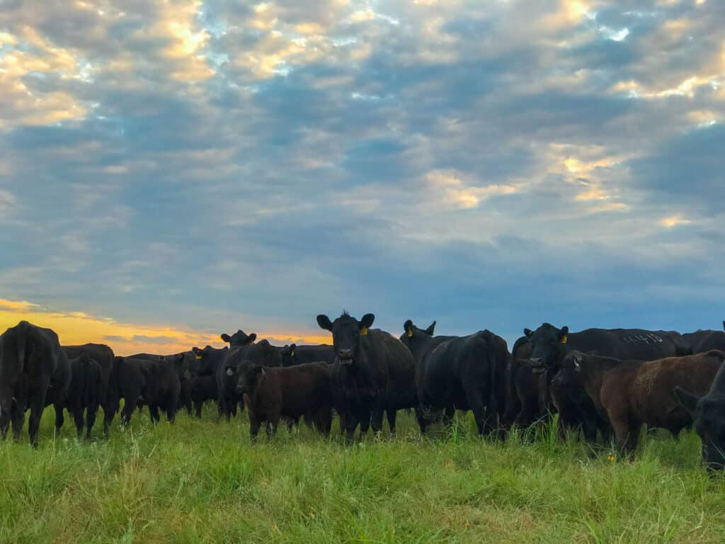 Cattle on the Kansas prairie