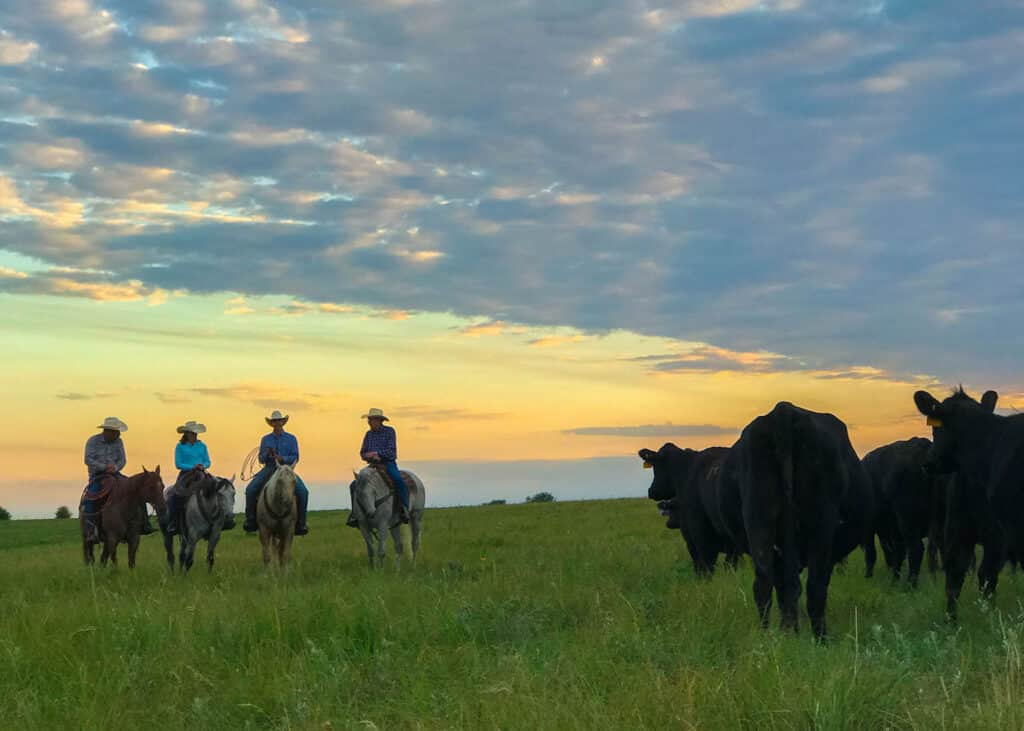 Kansas cattle on the prairie